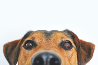 Close up image of a brown and tan dog's face and snout
